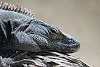 Ctenosaura similis 01.jpg