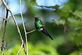 Cuban Emerald Hummingbird 2496054980.jpg