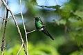 Cuban Emerald Hummingbird 2496054980.jpg