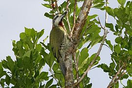 Cuban Green Woodpecker (Xiphidiopicus percussus).jpg
