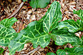 Cuckoo Pint Arum italicum Leaf 3264px.JPG