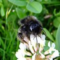 Cuckoo bumblebee (Bombus rupestris), Sandy, Bedfordshire (7726823948).jpg