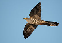 Common cuckoo in flight, showing barred underparts