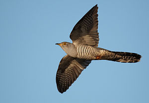 Eurasian sparrowhawk - Resemblance to the Eurasian sparrowhawk helps the common cuckoo to avoid aggression from the small birds whose nest it seeks to parasitise.