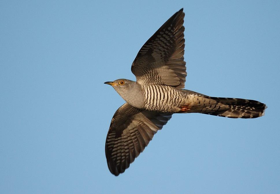 Cuculus canorus vogelartinfo