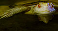 Cuora flavomarginata Genève 24102014 3.jpg
