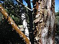 Cupressus stephensonii trunk.JPG
