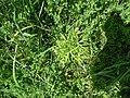 Cut-leaved cranesbill (Geranium dissectum) - geograph.org.uk - 1334240.jpg