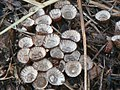 Cyathus Haller (Mushroom Observer-979947).jpg