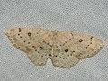 Cyclophora albipunctata - Birch mocha - Кольчатая пяденица обыкновенная (27100956438).jpg