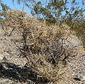 Cylindropuntia ramosissima 4.jpg
