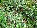 Cynara baetica maroccana (9008527289).jpg
