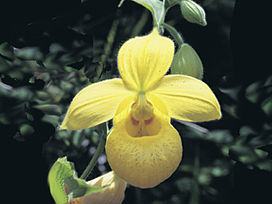 Cypripedium irapeanum.jpg