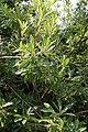 Cyrilla racemiflora 14zz.jpg