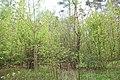 DSC 7032 Bacieczkowski Forest in Białystok.jpg