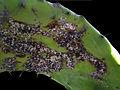 Dactylopius coccus 01.jpg
