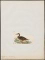 Dafila urophasianus - 1820-1863 - Print - Iconographia Zoologica - Special Collections University of Amsterdam - UBA01 IZ17600357.tif