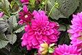Dahlia Claudette 2zz.jpg