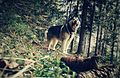 Dalai Northern Horizon Alaskan Malamute, 5 years old in the forest of Slovenia (26755945434).jpg