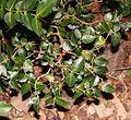 Damnacanthus indicus (tree s2).jpg