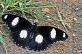 Danaid Eggfly ചൊട്ട ശലഭം.jpg