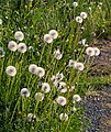 Dandelion seed heads on the road to Norrkila 3.jpg