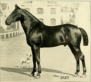 Anglo-Norman horse - An Anglo-Norman horse