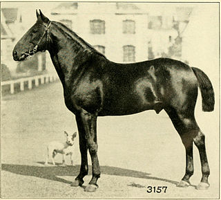 warmblood horse breed developed in Lower Normandy in the early 19th century, with influences from Thoroughbred, local Norman blood, and British and Russian trotting horses