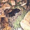 Delichon dasypus making nest.jpg