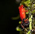 Dendrobates pumilio - Strawberry Poisin Dart Frog-1 - Flickr - Ragnhild & Neil Crawford.jpg