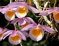 Dendrobium loddigesii Orchi 2013-05-05 024.jpg