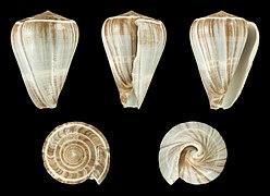 Dendroconus buxeus loroisii 01.JPG