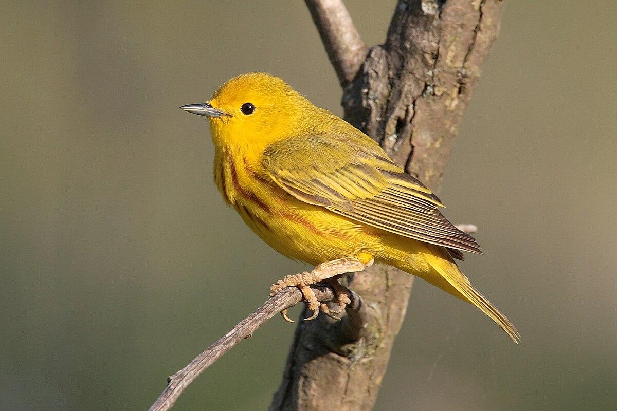 American yellow warbler wikipedia for Photo oiseau