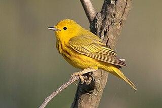 American yellow warbler species of bird