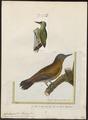 Dendropicus menstruus - 1700-1880 - Print - Iconographia Zoologica - Special Collections University of Amsterdam - UBA01 IZ18700197.tif