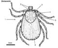 Dermacentor-female-dorsal.png