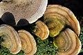 Detailshot of Trametes hirsuta (Hairy Bracket, D= Striegelige Tramete, F= Tramète hirsute, NL= Ruig elfenbankje) white spores and causes white rot, at tthe Wagnerlaan Arnhem. It's a detail from the preceding image - panoramio.jpg