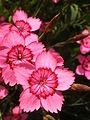 Dianthus deltoides Yonne 01.JPG