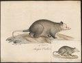 Didelphis cancrivora - 1700-1880 - Print - Iconographia Zoologica - Special Collections University of Amsterdam - UBA01 IZ20300078.tif