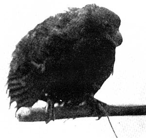 Tooth-billed pigeon - Live specimen in 1901