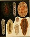 Die polycladen (seeplanarien) des golfes von Neapel und der angrenzenden meeres-abschnitte (1884) (20753576178).jpg