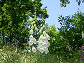 Digitalis-stora hultrum.sweden-12.jpg