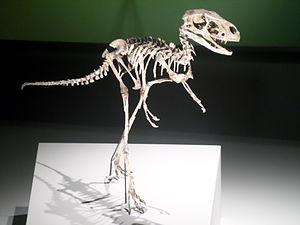 Dilong (dinosaur) - Reconstructed skeleton