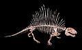 Dimetrodon incisivum 01.jpg