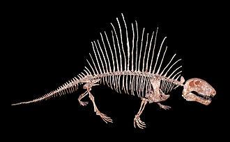 Dimetrodon - Skeleton of D. incisivum, Staatliches Museum für Naturkunde Karlsruhe