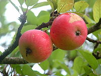 Discovery apples.jpg