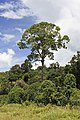 District-Tawau Sabah Menggaris-tree-at-Sapulut-Kalabakan-Road-01.jpg