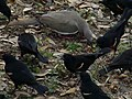 Dove surrounded by red winged blackbirds 1.jpg