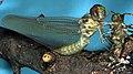 Dragonfly, Metamorphosis 4 (181300174).jpg
