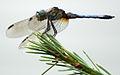 Dragonfly ran-333.jpg